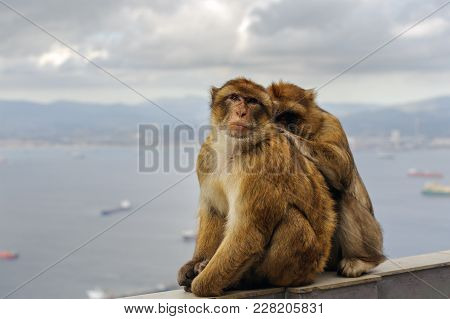 Monkey Family Is Sitting On Balcony At Gibraltar Rock Viewpoint