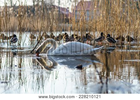 A Large White Swan (cygnus Olor) Swimming On A Pond.