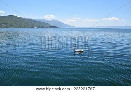 Swan Swimming In Ohrid Lake. Macedonia. Landscape.