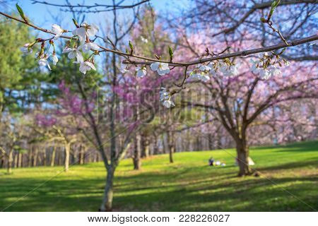 A Close-up Look Of A Cherry Blossom Branch In Focus With A Soft Focus Spring Park Background.