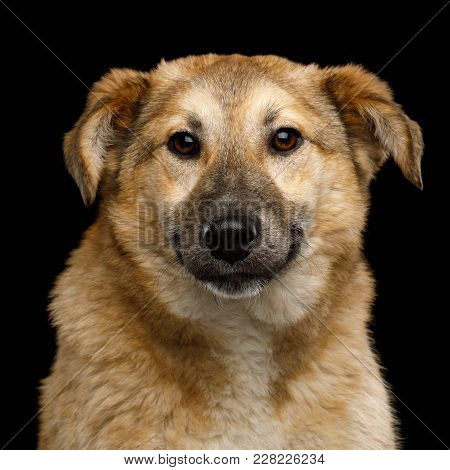 Closeup Portrait Of Cute Mongrel Dog Frightened Looking In Camera, Isolated On Black Background