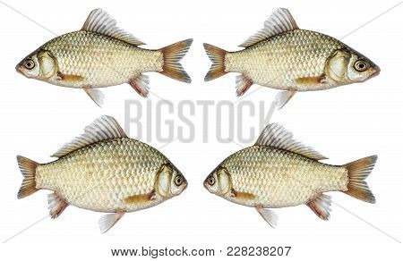 Isolated Crucian Carp Set, A Kind Of Fish From The Side. River Fish Live, With Flowing Fins.
