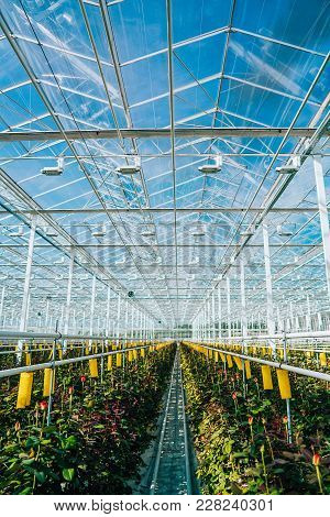Greenhouse Roses Growing Under Daylight. Roses Are Grown In A Greenhouse For Sale