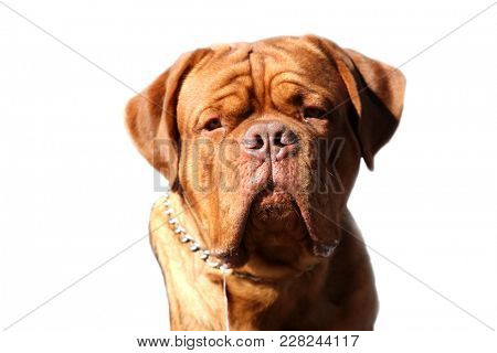 Mastiff Dog. isolated on white with room for text.