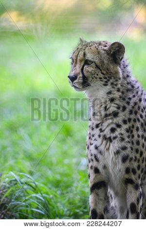 Cheetah portrait in the jungle