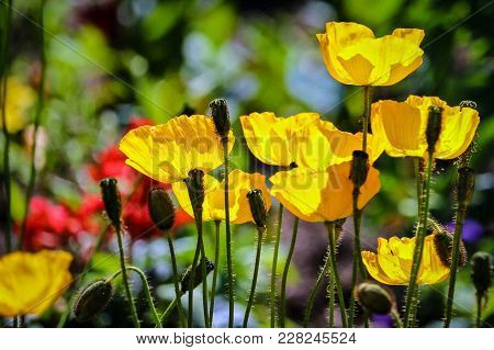 Yellow Poppies At A Garden In Canada