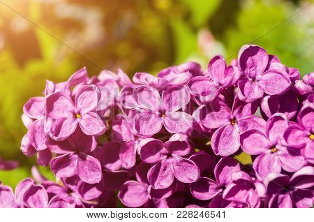 Lilac Flowers, Spring Flower Background. Selective Focus At The Central Lilac Flowers, Spring Lilac