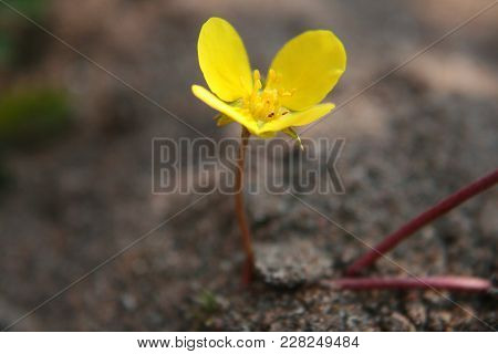 Tribulus Terrestris On Beach. Yellow Colorful Flower In The Summer