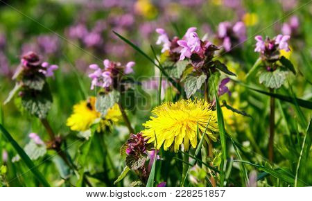 Yellow Dandelion Among Thyme In Grass. Lovely Nature Background In Springtime
