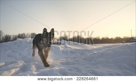 German Shepherd Runs In The Teeth With A Stick. German Shepherd Runs In The Winter On Snow.  German