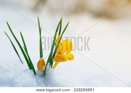 Bright Yellow Snowdrop Flowers Crocuses Make Their Way On A Sunny Spring Day From Under Cold White S