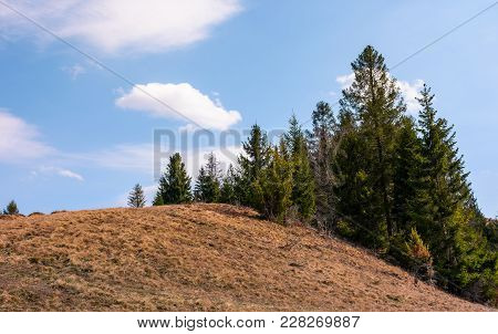 Spruce Forest On The Edge Of Hillside Covered With Weathered Grass. Lovely Nature Scenery In Springt