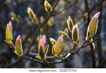 Blossom Of Magnolia Tree In Springtime. Beautiful Nature Background With Purple Flowers On The Branc