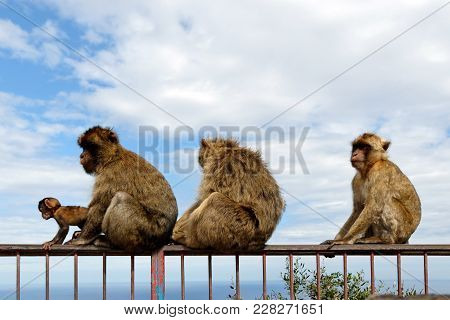 The Famous Barbary Macaque In Gibraltar National Reserve, Considered By Many The Top Tourist Attract