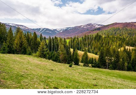 Spruce Forest On Rolling Hills In Springtime. Gorgeous Landscape Of Pylypets Valley In Carpathian Mo