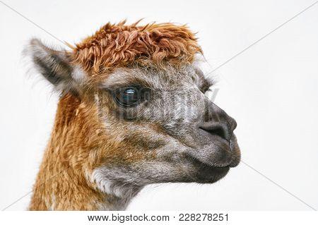 Portrait Of Alpaca (vicugna Pacos) Against White Background