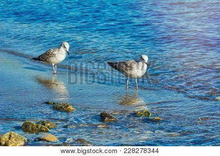 Subadult European Herring Gulls (larus Argentatus) On The Black Sea Shore