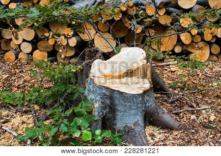 Damage To Nature. Deforestation, Destruction Of Deciduous Forests