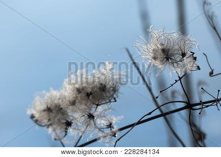 Dry Seedheads Of The Wild Clematis (clematis Vitalba) In Winter Against A Blue Sky With Copy Space,