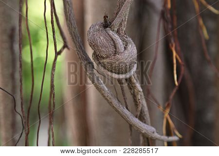 Bali Indonesia A Plant The Liana Was Tied By Knot Big