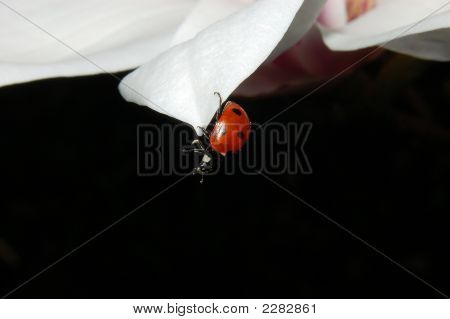 Sevenspotted Lady Beetle on Magnolia. Photo taken 2007 in Netherland poster