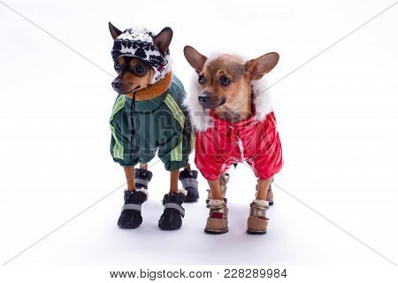 Russian Toy Terrier And Chihuahua In Clothes. Adorable Tiny Chihuahua And Toy Terrier Dressed In Win