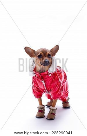 Adorable Chihuahua In Red Suit. Cute Little Dog Dressed In Red Winter Clothes And Shoes Standing Iso