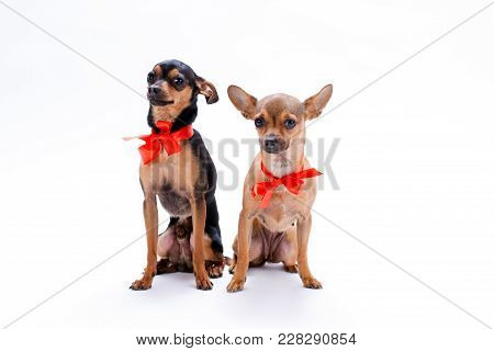 Russian toy-terrier and chihuahua in red bows. Lovely miniature pedigreed dogs with red ribbon sitting isolated on white background, studio portrait. poster