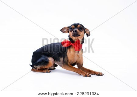 Sleek-haired Toy-terrier With Red Bow. Studio Shot Of Adorable Black Pedigree Dog Isolated On White