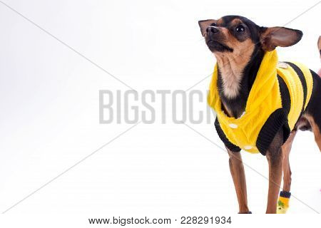 Russian Toy-terrier In Clothes, Copy Space. Cute Sleek-haired Toy-terier In Yellow Sweater Isolated