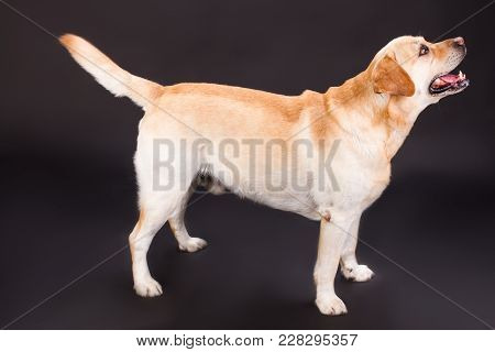 Adorable Labrador Standing On Black Background. Funny Young Labrador Retriever Over Dark Background,