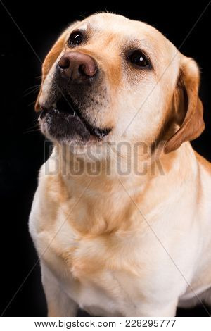 Portrait Of Cute Young Labrador Retviever. Beautiful Young Blonde Labrador Dog On Black Background,