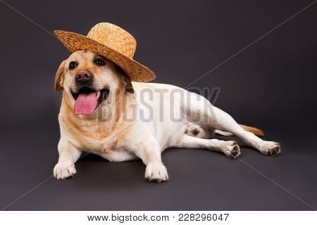 Cute Labrador Retriever In Straw Hat. Yellow Labrador Retriever Posing In Straw Hat On Black Backgro