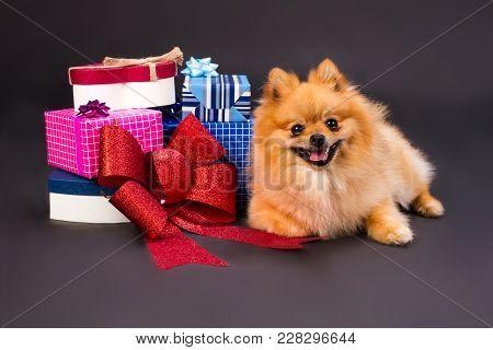 Pomeranian Spitz With Gift Boxes. Studio Portrait Of Beautiful Pomeranian Spitz With Colorful Gift B