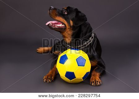 Portrai Of Rottweiler With Football Ball. Young Beautiful Rottweiler Dog Lying In Studio With Yellow