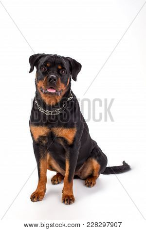 Young Beautiful Rottweiler, Front View. Cute Young Pedigreed Rottweiler Sitting Isolated On White Ba