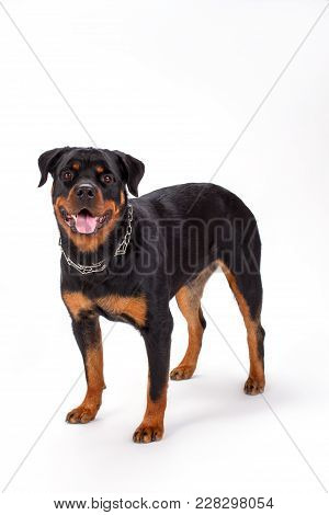 Purebred Young Rottweiler, Studio Shot. Domesticated Rottweiler Dog Standing On White Background. Be
