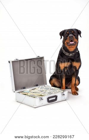 Strong Rottweiler Dog And Cash In Case. Green Currency In Suitcase And Purebred Young Rottweiler Iso