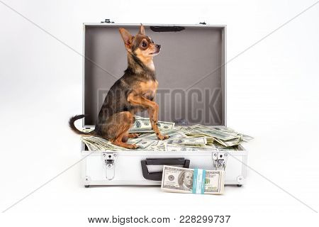 Toy-terrier Sitting On Heap Of Dollars. Purebred Sleek-haired Terrier Dog Sitting In Suitcase Full O