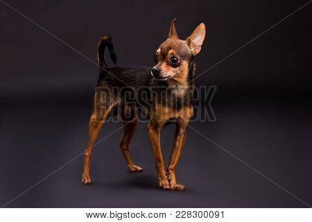 Studio Portrait Of Cute Terrier Dog. Adorable Brown Sleek-haired Purebred Dog Standing On Dark Gradi