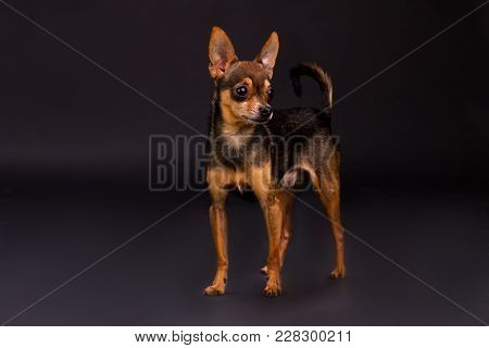 Dog Of Breed Toy-terrier, Tudio Shot. Adorable Little Russian Toy-terrier Standing On Dark Stusio Ba