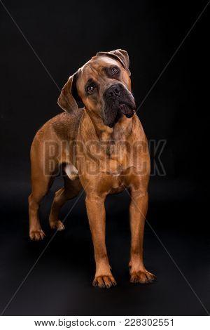 Beautiful Cane Corso, Studio Portrait. Adorable Italian Mastiff Cane Corso On Dark Background, Studi