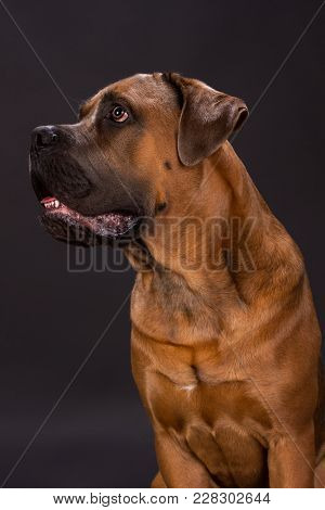 Cane Corso Looking Aside, Studio Portrait. Young Brown Cane Corso Dog Sitting On Dark Background, St