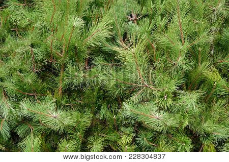 Background Of Beautiful Conifer Evergreen Christmas Tree Branches