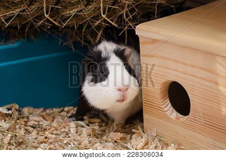 Little Black And White Guinea Pig Sits Near Wooden House.