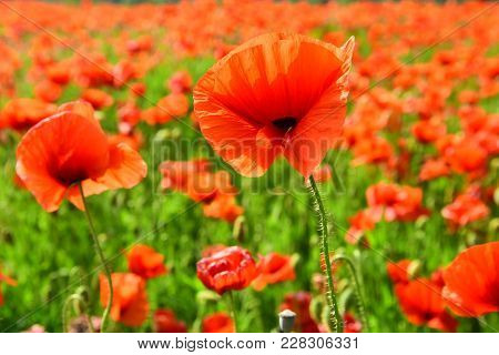 Remembrance Day, Anzac Day, Serenity. Opium Poppy, Botanical Plant, Ecology. Summer And Spring, Land