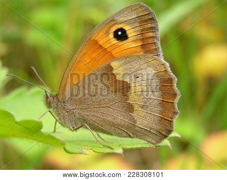 Butterfly With Velvety Wings  - Maniola Jurtina - Sitting On A Green Leaf