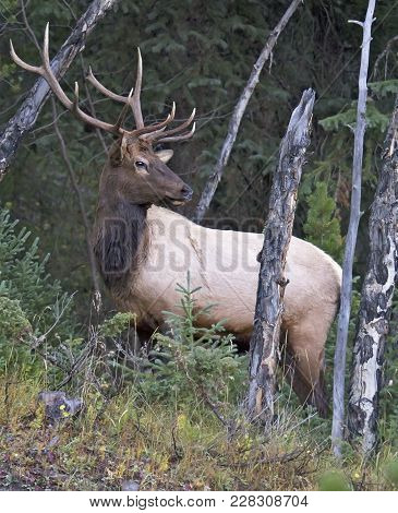 Close Up Image Of A Large, Bull Elk, In Rut, On A Hillside.  Autumn In Rocky Mountain National Park