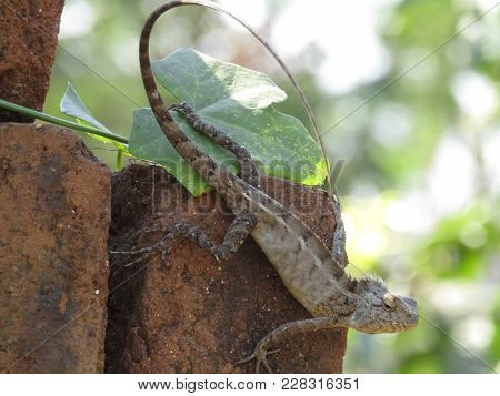 Agama Is The Name Of The Genus Of A Group Of Small,