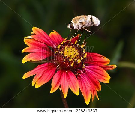 A Furry Hover Fly Native To Arizona Feeding On A Colorful Wildflower Called A Fire Wheel.